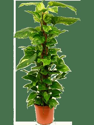 Scindapsus (epipremnum) 'Aureum'