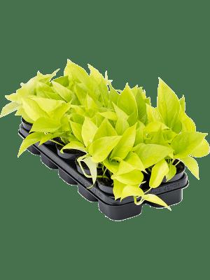 Scindapsus golden pothos 10/tray