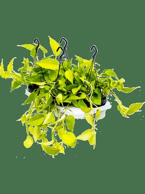 Scindapsus golden pothos 4/tray