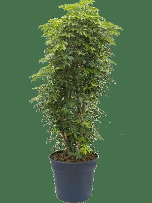 Schefflera arboricola 'Luseana' Vertakt/zuil 34/30 140 - Plant