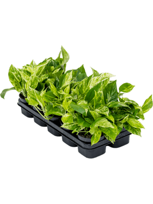Scindapsus marble queen 10/tray