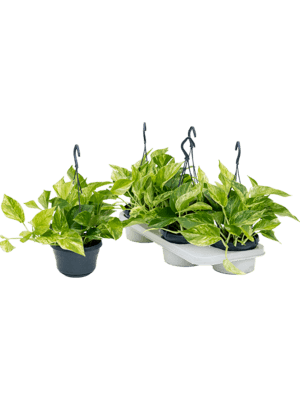 Scindapsus marble queen 4/tray