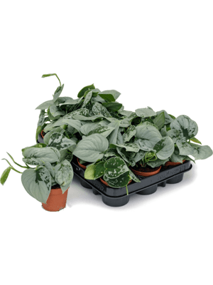 Scindapsus pictus silvery ann 12/tray