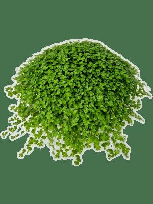 Soleirolia soleirolii (helexine) 6/tray