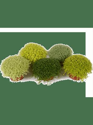 Soleirolia soleirolii (helexine) 8/tray