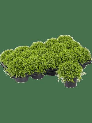 Soleirolia soleirolii (helexine) 15/tray