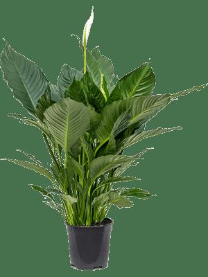 Spathiphyllum alfetta