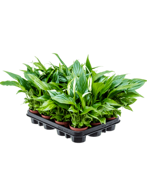 Spathiphyllum pearl cupido 12/tray