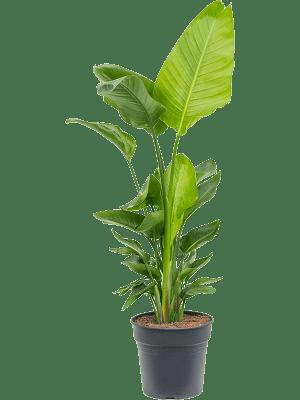 Strelitzia nicolai Tuff 30/27 120 - Pflanze