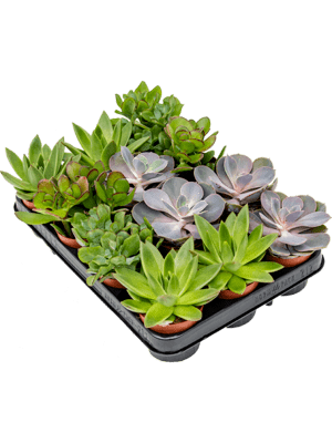 Succulenten mix 12/tray