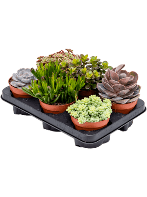 Succulenten mix 6/tray