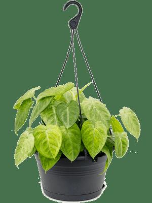 Syngonium 'Frozen Heart' Hanger 28/17 50 - Plant