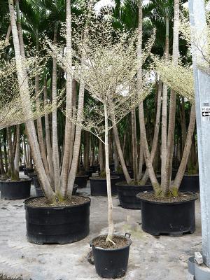 Terminalia variegated