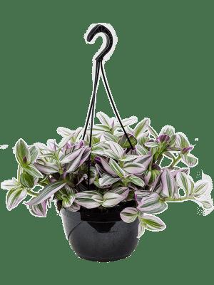 Tradescantia albiflora 'Nanouk' Hanger 20/14 30 - Plant