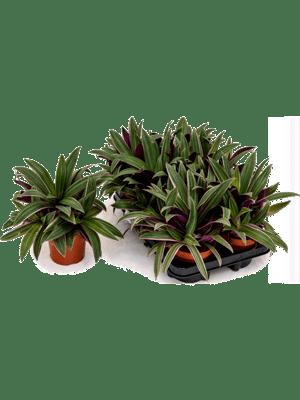 Tradescantia spathacea sitara 6/tray