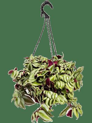 Tradescantia zebrina (purple)