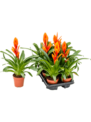 Vriesea intenso orange 6/tray