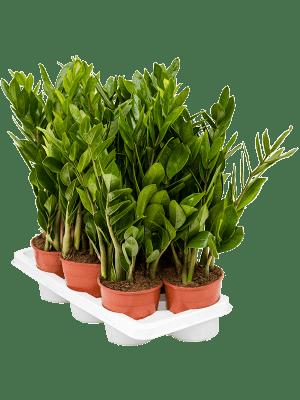 Zamioculcas zamiifolia 7/tray