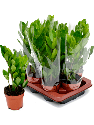Zamioculcas zamiifolia 9/tray
