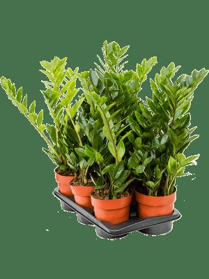 Zamioculcas zamiifolia 6/tray