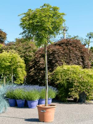 Acer palmatum dissectum palmatifidum