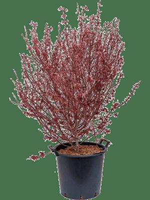 Acer palmatum hime shojo