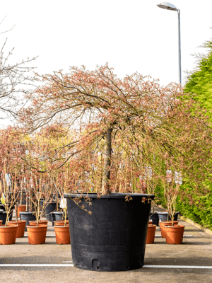 Acer palmatum ornatum