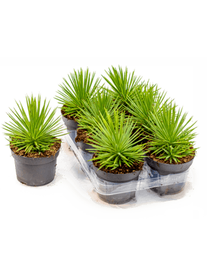Agave nana 6/tray