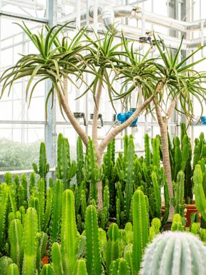 Aloe bainesii (250-300)