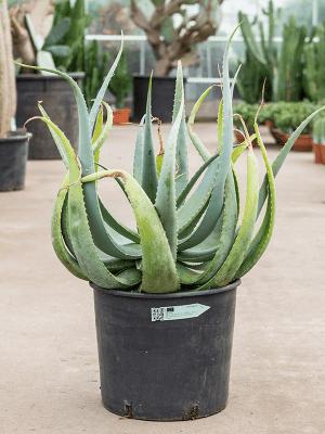 Aloe globuligemma