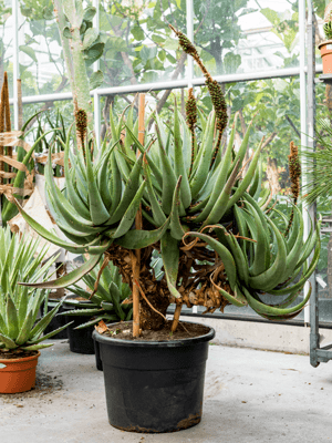Aloe castanea esemplare