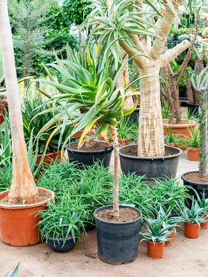 Aloe pluridens africana (100-120) Stem 35/30 120 - Plant