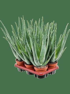 Aloe vera barbadensis 6/tray