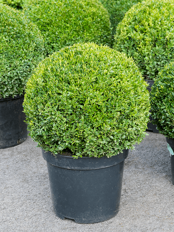 Buxus sempervirens Kugel (45+) 36/30 70 - Pflanze - Main image