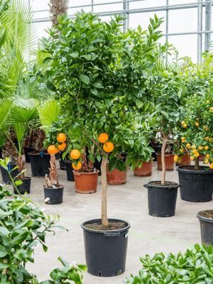Citrus arancia