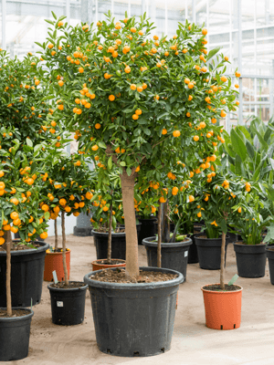 Citrus (citrofortunella) calamondin