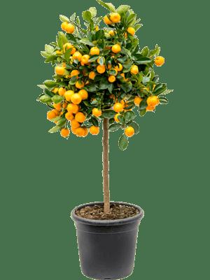 Citrus (citrofortunella) calamondin