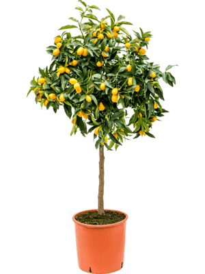 Citrus (citrofortunella) kumquat