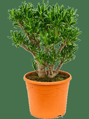 Crassula ovata 'Gollum' Buisson 35/28 70 - Plante