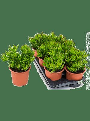 Crassula horntree 6/tray