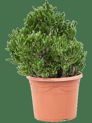 Crassula ovata 'Horntree' Buisson 30/23 55 - Plante