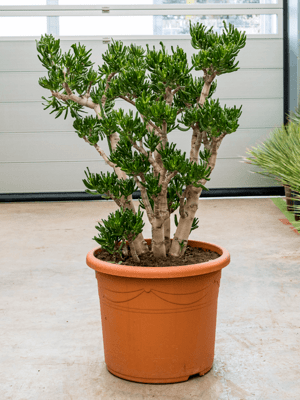 Crassula ovata 'Horntree' Busch 48/32 120 - Pflanze