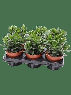 Crassula hulk 6/tray