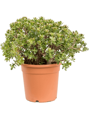 Crassula ovata minor