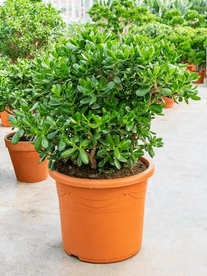 Crassula ovata Busch 48/39 100 - Pflanze