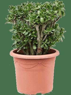 Crassula ovata Bush 40/32 90 - Pflanze