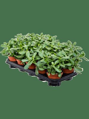 Crassula ovata 'Sunset' 8/tray  12/11 22 - Pflanze