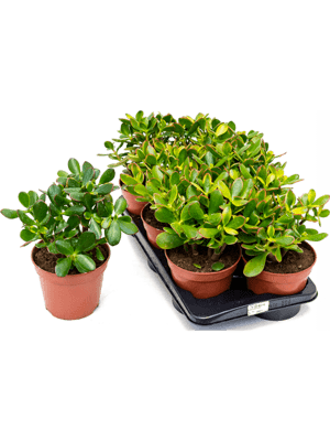 Crassula sunset 6/tray