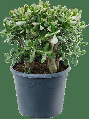 Crassula ovata 'Sunset' Busch 35/28 80 - Pflanze