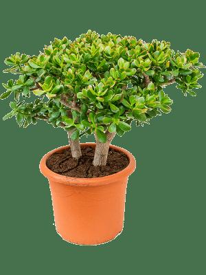 Crassula ovata 'Sunset' Busch 40/32 90 - Pflanze